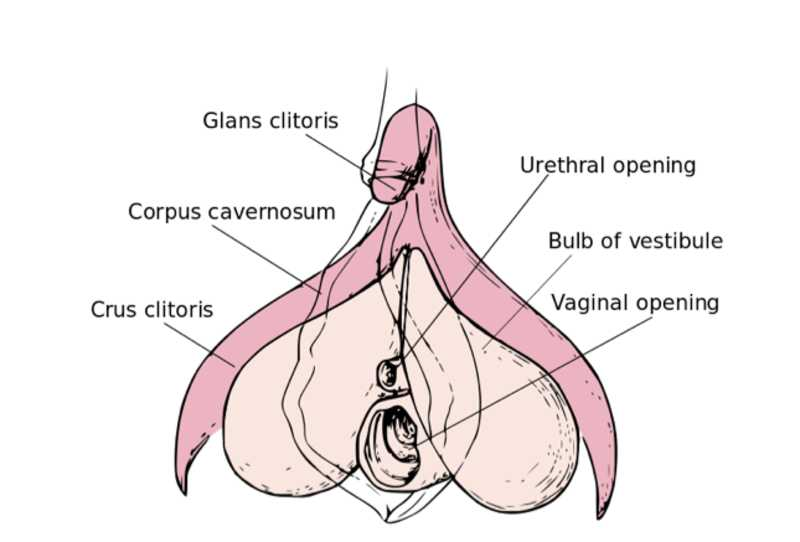 Medical pictures of the clitoris